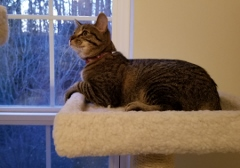 TOMMY CHILLAXIN' ON HIS NEW KITTY TREE Feb 2018