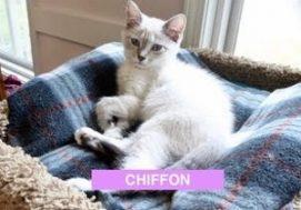 Chiffon - Aug 2017