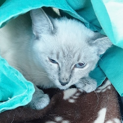 Lilac-kitten-in-blanket-Sept-2020